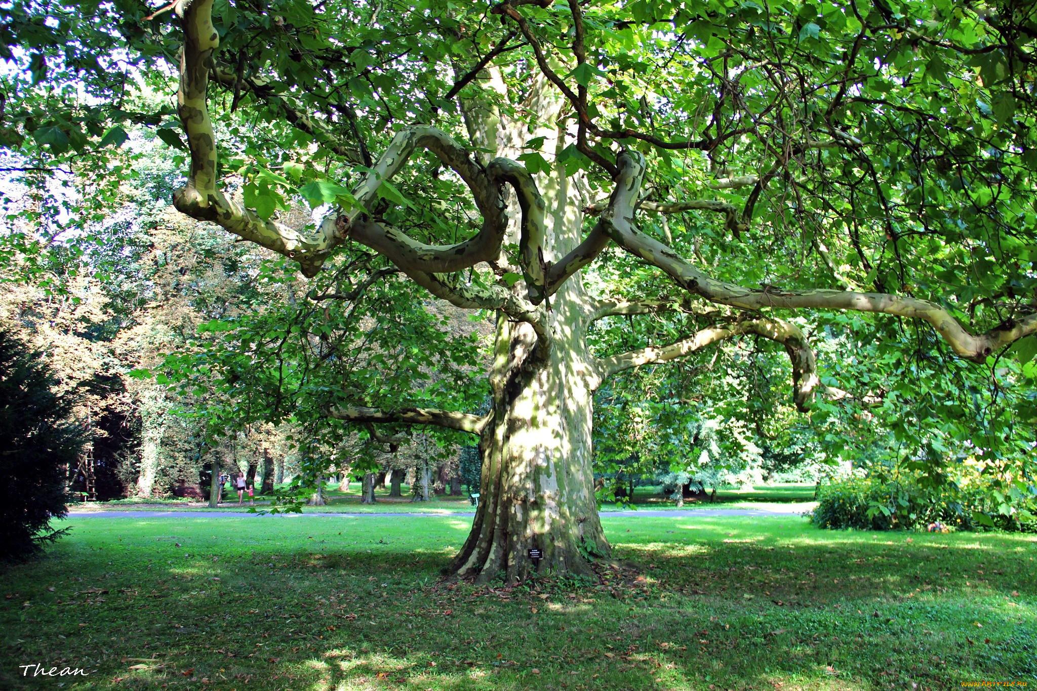 платановые деревья в сочи фото вятских